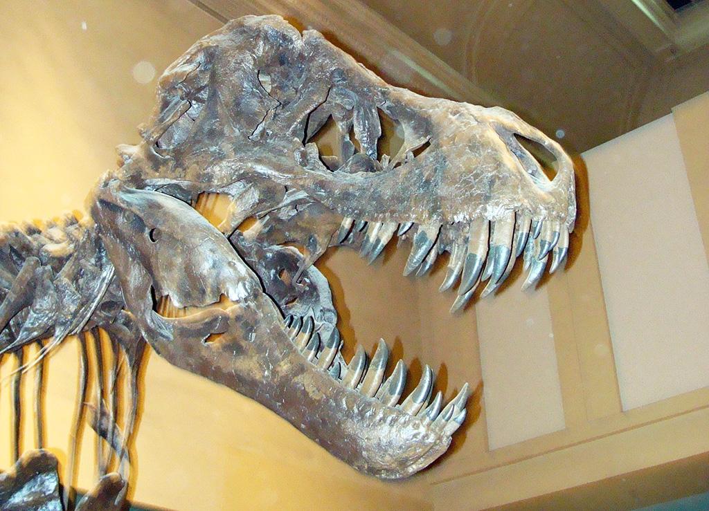 Esqueleto de tiranosaurio Rex en el Museo de Historia Natural de Washington DC - Foto de AHM