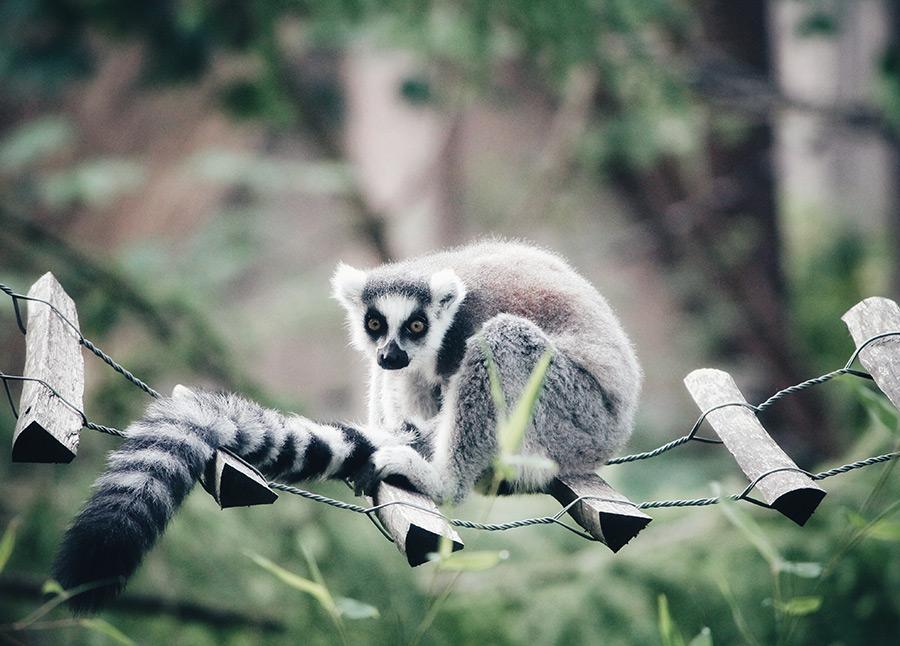 Los lemures son una de las especies más visitadas en el Zoológico del Bronx - Foto de Erik-Jan Leusink on Unsplash disponible en https://unsplash.com/photos/mm4yj7L6Hk0