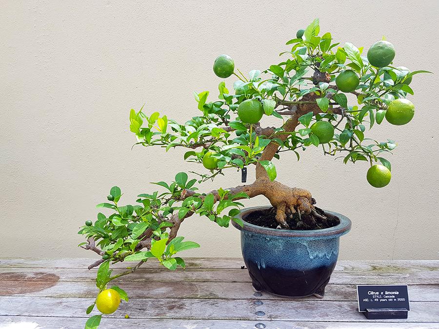 Limonero Bonsai en la muestra de bonsai del Brooklyn Botanical Garden - Foto de Andrea Hoare Madrid