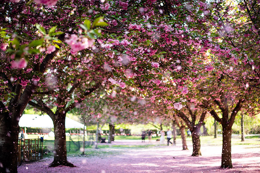 Esplanada de los cerezos en flor del Jardín Botánico de Brooklyn en primavera - Foto de Pascale Amez en Unsplash disponible en https://unsplash.com/photos/fk2aGJeIl0s